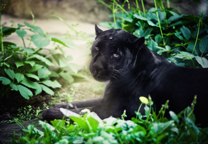 This image has an empty alt attribute; its file name is panther-spirit-animal-2.jpg
